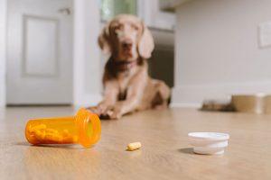 brown dog looking at fallen pill from spilled open pill bottle